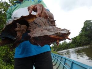 tortuga mata mata - urzeitschildkröte