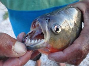 piranha, ungefährlich weil tot, dafür lecker!!!