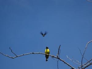 Hier ein Kere Kere (in gelb), der einen Kolibri (im Flug) ausmeckert. Es geht um die Einhaltung eines einseitigen Überflugverbots o.ä.