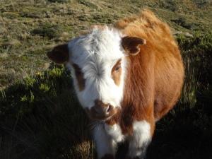 vaca andina - kreuzung aus kuh u brillenbär