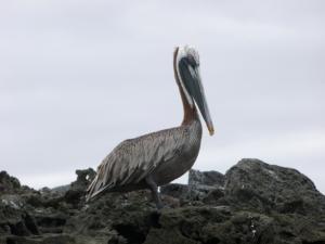 pelikan - guter charakter aber schlechter fischer