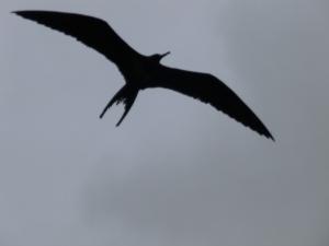 fregattvogel - eleganter flieger aber miesr charakter