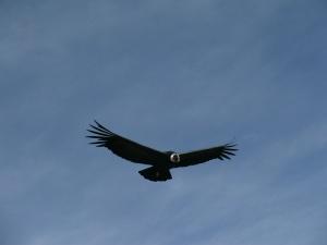 Flughyäne  auf Sichtungsflug angelockt durch Seelöwenplazenta