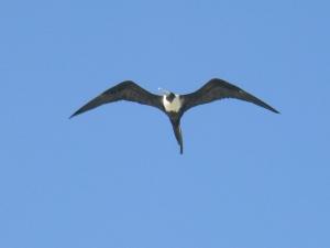 Fregattvogel mit einwandfreiem Gegenwindverhalten