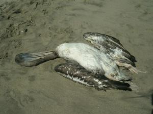 Nein, dieser Pelikan schläft nicht!