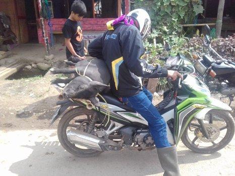 praktisch: Schweine-Transport!