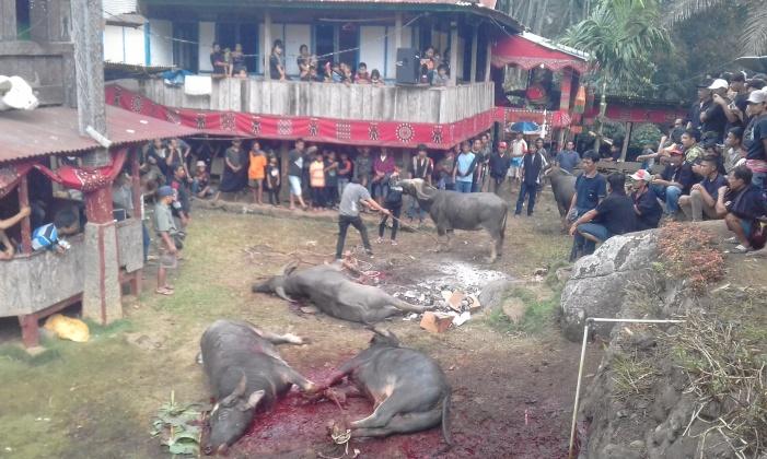 Als Gabe, als Ehrerweisung für der Verstorbenen werden die Büffel bei Beerdigungszeremonien geopfert!