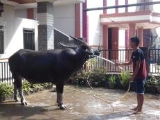 Erst wird der Büffel, später der Roller gewaschen